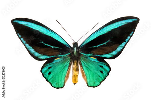 Photo sur Toile Papillons dans Grunge butterfly Ornithoptera priamus poseidon