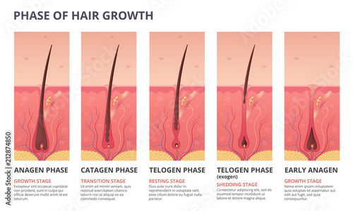 Obraz Medical infographic illustrations of hair growth cycle. Vector pictures of human biology - fototapety do salonu