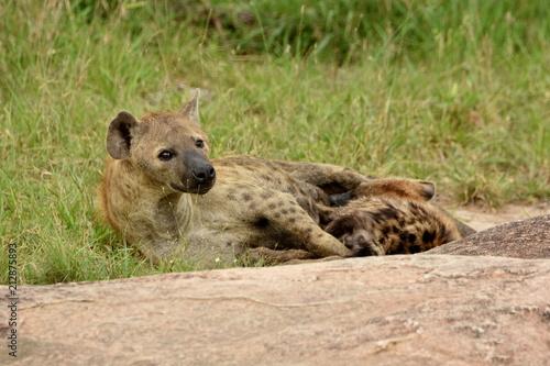 Foto op Aluminium Hyena Hyäne mit Baby