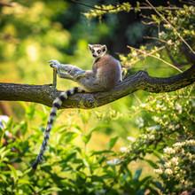 Portrait Of Ring-tailed Lemur
