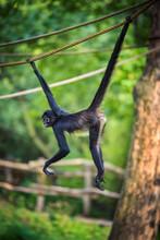 Geoffroy's Spider Monkey Hangin On A Rope