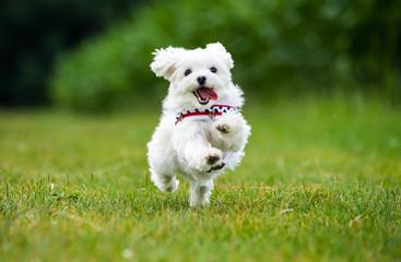 Kleiner Malteser Hund springt über eine Wiese