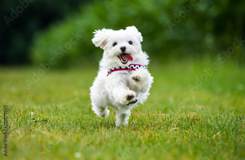 obraz lub plakat Kleiner Malteser Hund springt über eine Wiese