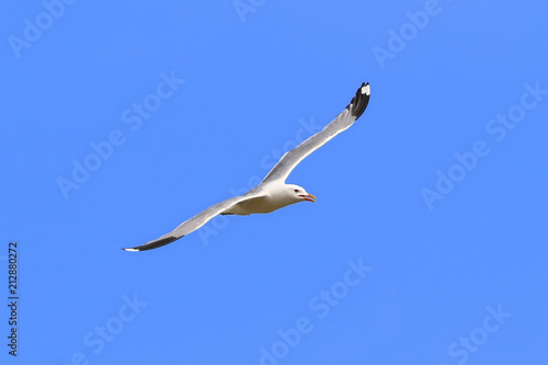 Larus canus. Seagull flies gracefully in Siberia