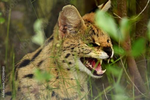 Tuinposter Eekhoorn Serval in Südafrika