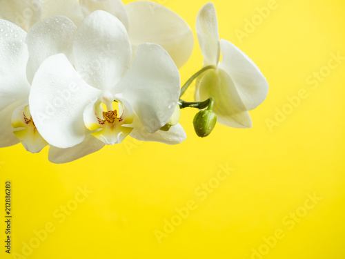Garden Poster Orchid White Orchid flowers on colored background Yellow Copy space