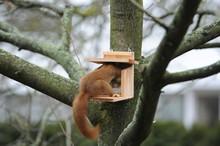 Eichhörnchen (Sciurus Vulgari...
