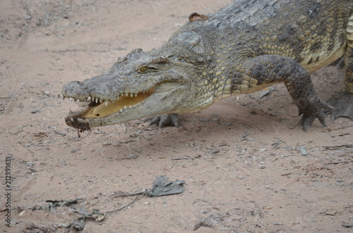 Staande foto Krokodil asia crocodile alligator sharp teeth danger