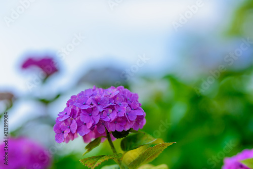 Tuinposter Groene 若松紫陽花祭り