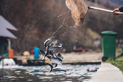 Fotografía trouts in the air with splashes of water, thrown trouts back into the trout farm