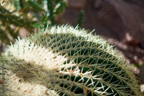 Foto op Plexiglas Cactus Ball cactus. Shadows.