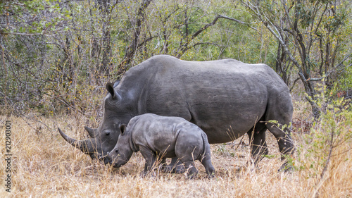 Southern white rhinoceros in Kruger National park, South Africa; Specie Ceratotherium simum simum family of Rhinocerotidae