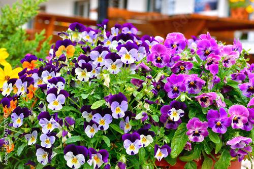Deurstickers Pansies flowers on the balconies in Brixen south Tyrol Italy