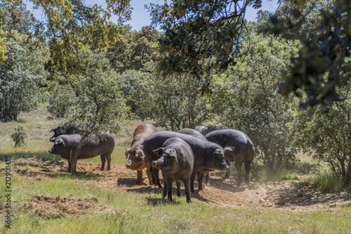 cerdos ibéricos en un campo de encinas en Salamanca, España