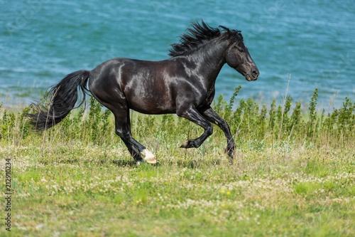 Slika na platnu Black Stallion Running