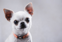 White Chihuahua Close-up On A ...