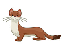 An Ermine Illustration