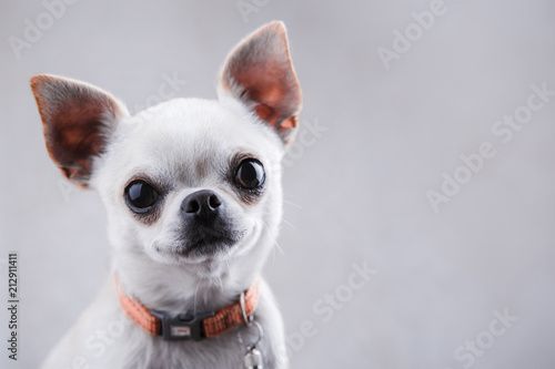 Photo White chihuahua close-up on a light gray background.