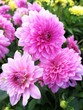 canvas print picture - Pink dahlias in a mixed flower bed