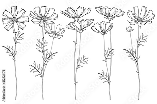 Photographie Vector set with outline Cosmos or Cosmea flower bunch, ornate leaf and buds in black isolated on white background