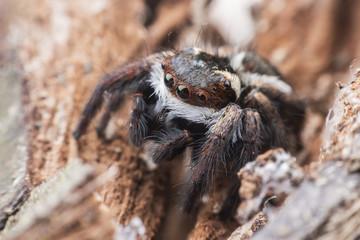 Super macro Jumping spider or Carrhotus viduus on rock
