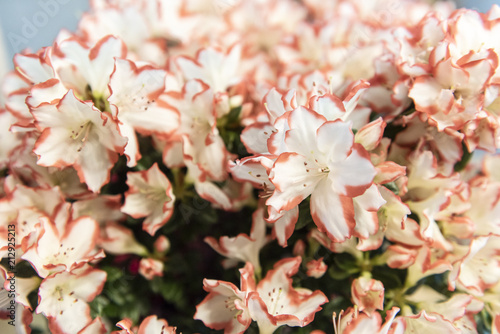 Close up of beautiful white and pink azaleas, selective focus