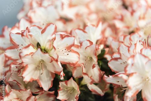 Spoed Foto op Canvas Azalea Close up of beautiful white and pink azaleas, selective focus