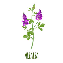 Alfalfa Icon In Flat Style On ...