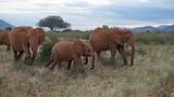 elephants of kenya