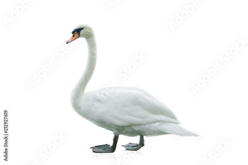 La pose en embrasure Cygne White swan isolated