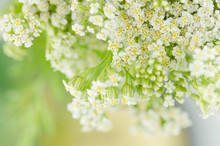 White Yarrow Flower. Achillea Millefolium With White Flowers