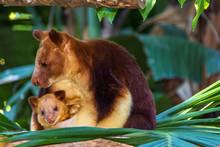 Tree Kangaroo Carrying Her Joe...