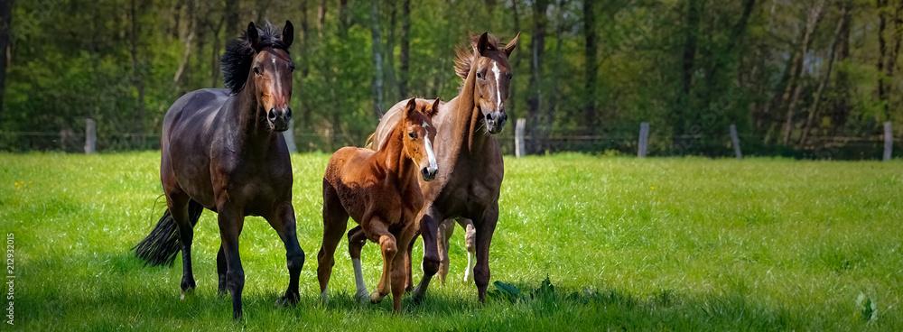 Fototapeta Pferdehaltung - zwei Pferde und ein Fohlen toben ausgelassen auf einer grünen Pferdekoppel