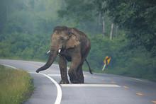 Wild Asian Elephant (Elephas M...