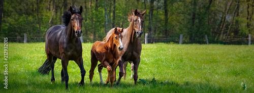 Tuinposter Paarden Pferdehaltung - zwei Pferde und ein Fohlen toben ausgelassen auf einer grünen Pferdekoppel