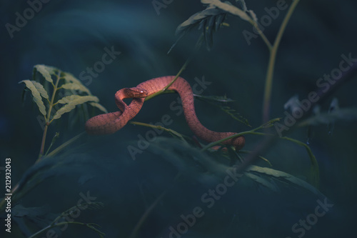 Fototapeta Close up of keeled slug eating snake on branch