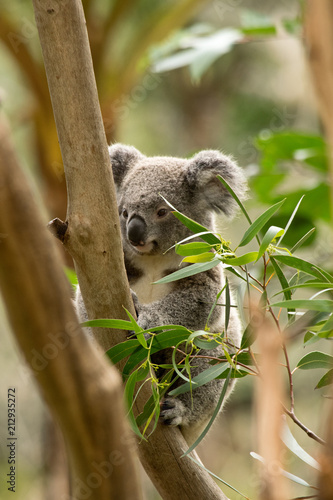 Koala siting on the branch in the wilderness. Australia.