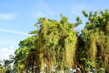 Parasitic Plant Grown Fast And Cover Tree In Abandon Land
