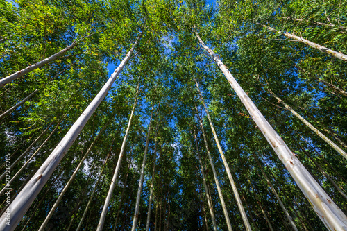 Eucalyptus Forest Canvas-taulu