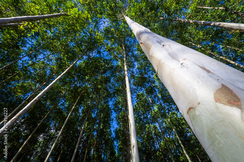 Obraz na plátne Eucalyptus Forest