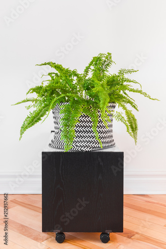 Boston fern plant in a black and white basket