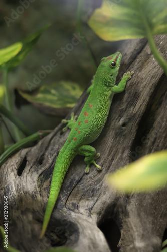 Poster Chamaleon Green lizard in terrarium