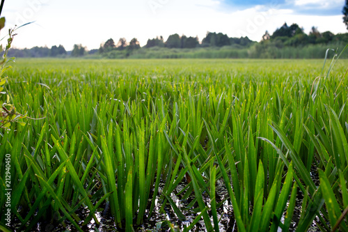 Fototapeta  Stratiotes aloides, water soldier rare water serrated aquatic plant