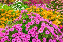 Beautiful Flowerbed Of Colorfu...