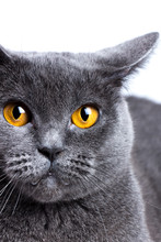 Portrait Of A British Shorthair Cat Close-up