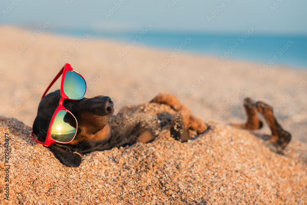 Fototapeta beautiful dog of dachshund, black and tan, buried in the sand at the beach sea on summer vacation holidays, wearing red sunglasses
