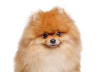 Closeup Portrait Of A Pomeranian Spitz Dog
