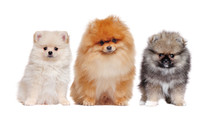A Family Of Long Haired Pomeranian Spitz Dogs Isolated On White
