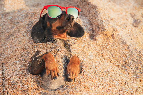 Fototapeta cute dog of dachshund, black and tan, wearing red sunglasses, having relax and enjoying buried in the sand at the beach ocean on summer vacation holidays obraz