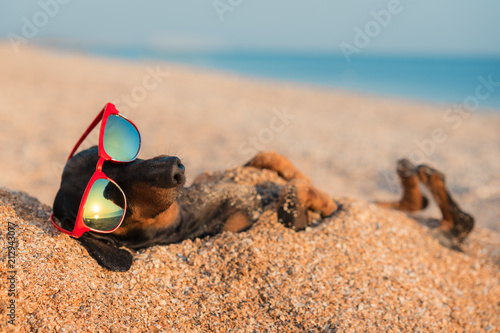 фотографія  beautiful dog of dachshund, black and tan, buried in the sand at the beach sea o